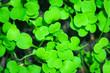 Leinwandbild Motiv first leaves of arugula texture background