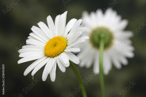 White chamomile (camomile) bouquet on nature background.