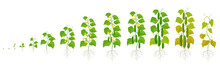Cucumber Plant. Growth Stages. Vector Illustration. Ripening Period. The Life Cycle Of The Vegetable.
