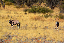 The East African Oryx (Oryx Be...