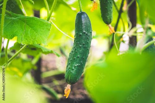 Photo  fresh green cucumber in a greenhouse