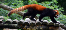 The Red Panda (Ailurus Fulgens), Also Called Lesser Panda And Red Cat-bear, Is A Small Arboreal Mammal Native To The Eastern Himalayas And South-western China. Soft Focus