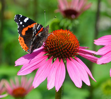 Echinacea Is A Genus, Or Group...