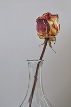 Dry Rose In A Vase On Grey Background