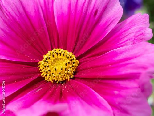 Floral background with selective focus of a pink and purple colored Cosmos flower yellow center with blurred petals sprinkled with pollen . - 280447006