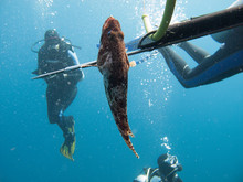 A Diver Fishing With Harpoon Irregularly A Fish (Hemichromis Bimaculatus), In The Red Sea Off The Coast Of Saudi Arabi