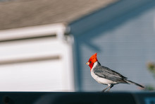 Red Crested Cardinal Perched O...
