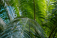 Close-up Lush Green Leaves Of Cycas Revoluta, Texture And Background