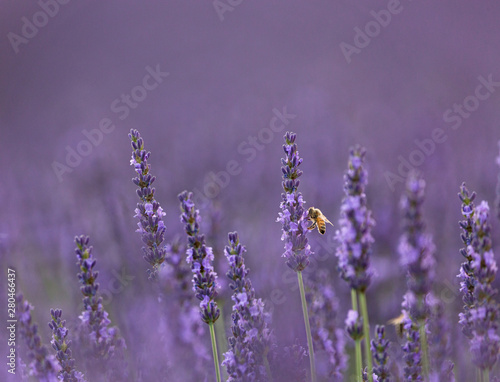 lavender flower closeup in summer with bee #280466437