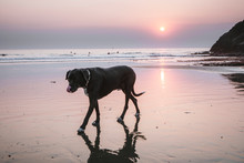 A Large Black Dog Is Reflected In Water At Beach During Setting Sun