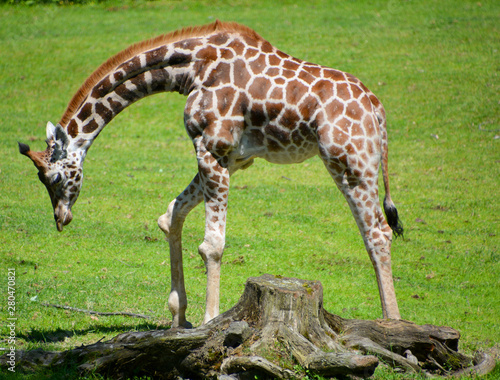Photo  The giraffe close up (Giraffa camelopardalis) is an African even-toed ungulate mammal, the tallest of all extant land-living animal species, and the largest ruminant