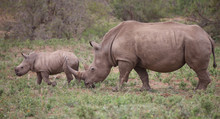 Rhino Family In Kruger Nationa...