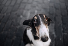 Borzoi Dog Looking At The Camera On Dark Background