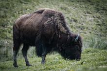 Strong Buffalo Grazing On A Me...