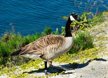 A Closeup Of A Canada Goose (B...