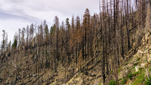 Burnt Forest As Result Of The ...