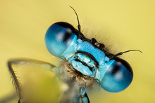 Azure Damselfly, Damselfly, Co...