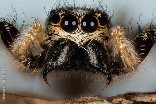 Deurstickers Hand getrokken schets van dieren Jumping Spider, Zebra Back Spider, Spider, Salticus scenicus, Salticidae