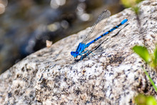 Vivid Dancer (Argia Vivida)  Damselfly Sitting On A Rock; Yosemite National Park, Sierra Nevada Mountains, California; It Is A Species Of Narrow-winged Damselfly In The Family Coenagrionidae