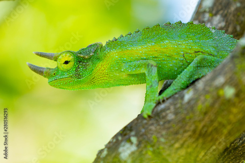 Recess Fitting Chameleon photoshooting in Hawaii chameleon