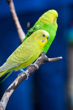 Two Colorful Budgerigars On A ...