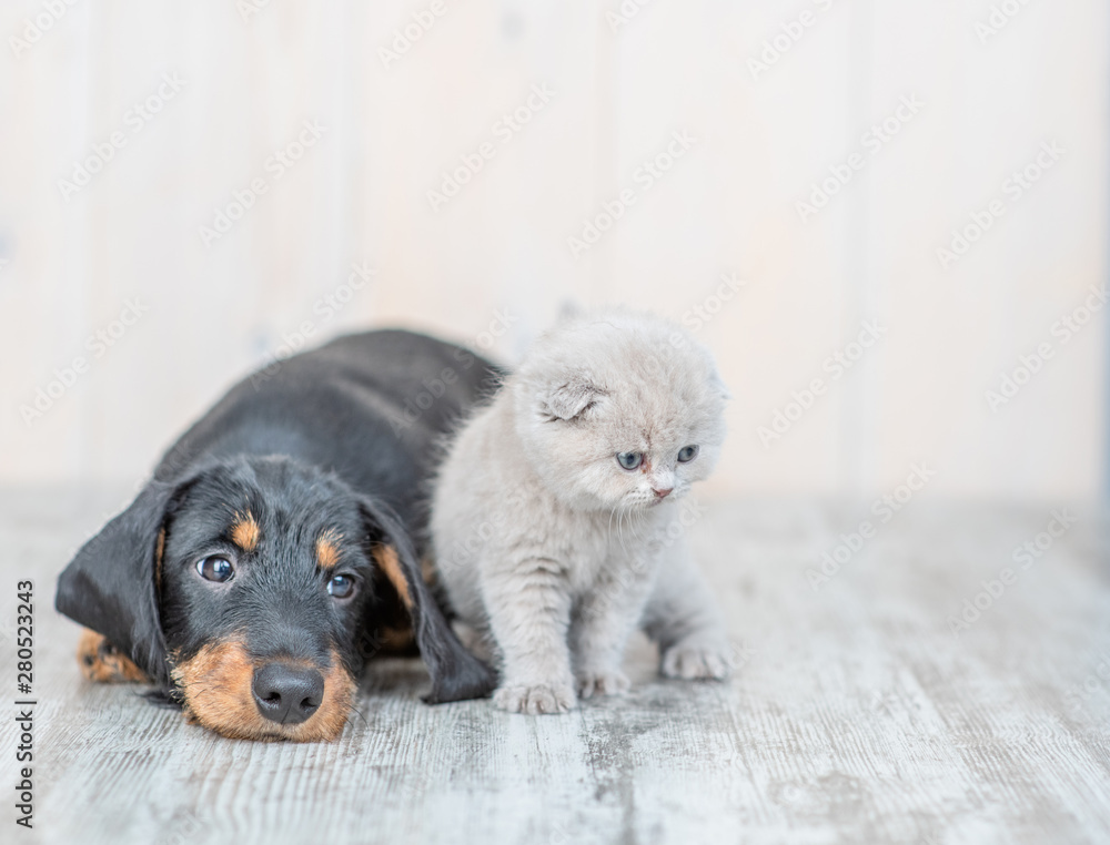 Fototapety, obrazy: Gray kitten with dachshund puppy on the floor at home. looking away on empty space