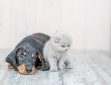 Gray Kitten With Dachshund Puppy On The Floor At Home. Looking Away On Empty Space