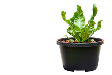 Bird's Nest Fern Is Growing In Black Plastic Pot Isolated On White Background.