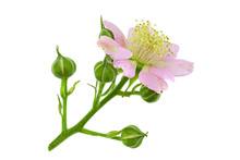 Blackberry Blossom Flower