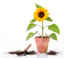 Sunflower In Clay Pot And Tool