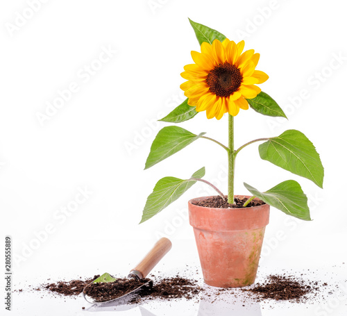 Fotografiet Sunflower in clay pot and tool