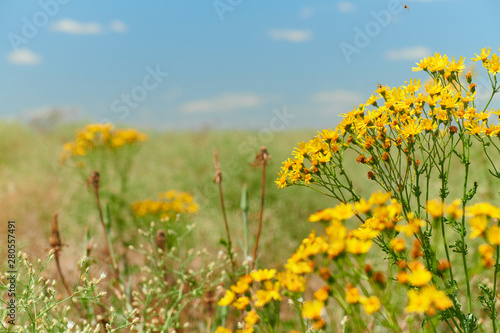 Wild grass with yellow flowers - beautiful summer landscape - 280557491