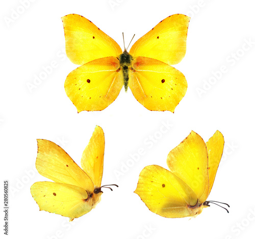 Obraz Set - three beautiful yellow butterflies Gonepteryx isolated on white background. Butterfly with spread wings and in flight. - fototapety do salonu