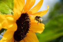 Bumblebee Flies To The Yellow Flower Of A Sunflower
