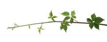 Vine Branch, Stem With Leaves,...
