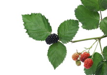 Young Unripe Blackberries With Leaves Isolated On White Background
