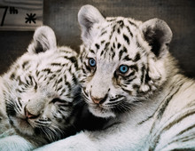 Two White Tiger Babys In A Zoo...