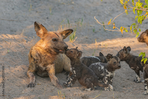 Spoed Foto op Canvas Hyena a family of wild dogs/ painted dogs in okavango delta in botswana, puppies, mother and father