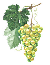 Bunch Of Green Grapes Isolated On White Background. Watercolor Illustration.