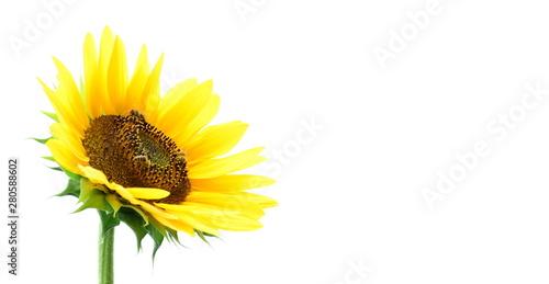 In de dag Zonnebloem Sonnenblume vor weißen Hintergrund - isoliert und freigestellt