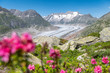 view over the mighty Aletsch Glacier in Switzerland with wildflowers