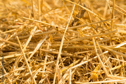 Fotografia Surface of dry yellow straw grass background texture after havest for abstract background