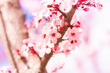 Sakura cherry blossom flowe...