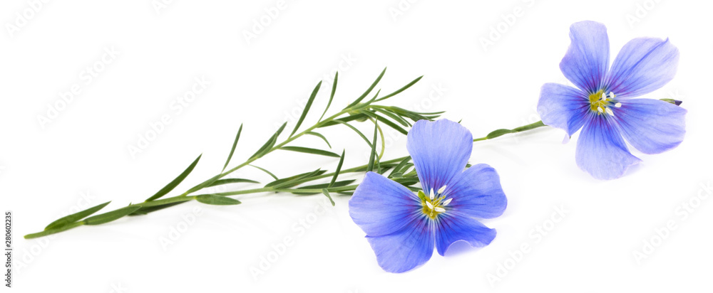 Fototapety, obrazy: Flax blue flowers isolated on white background