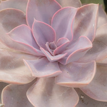 Close Up Of Pink Succulent Plant