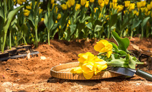Planting Spring Flowers In The Sunny Garden. Tilling The Soil, Preparing It For Planting Flowers With Gardening Tools, Yellow Tulips Growing In The Garden And Garden Tools (Rake, Spade, Hoe, Gloves).