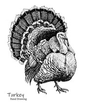 Big Turkey Bird Black Pen Hand Drawing