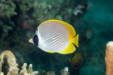 Philippine Butterflyfish, Chaetodon Adiergastos