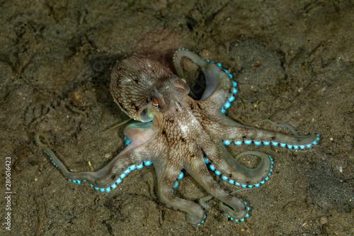 Fotografia Coconut octopus and veined octopus, Amphioctopus marginatus is a medium-sized ce
