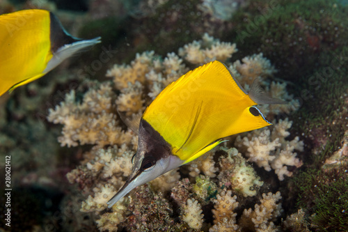 Forcipiger longirostris, commonly known as the longnose butterflyfish or big lon Fototapet